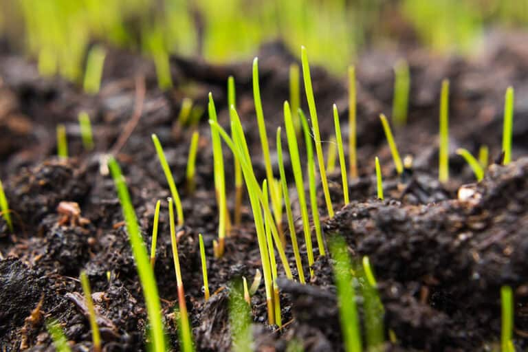 Can You Overwater Grass Seed?