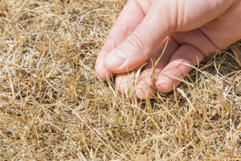 Can Dead Grass Be Revived?