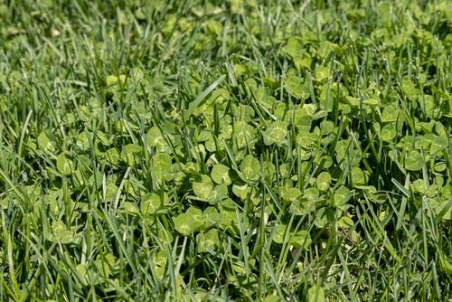 What Will Kill Clover But Not Grass?