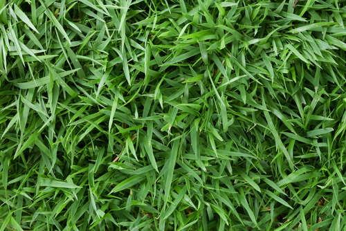 El Toro Zoysia – Is It Right for Your Yard?